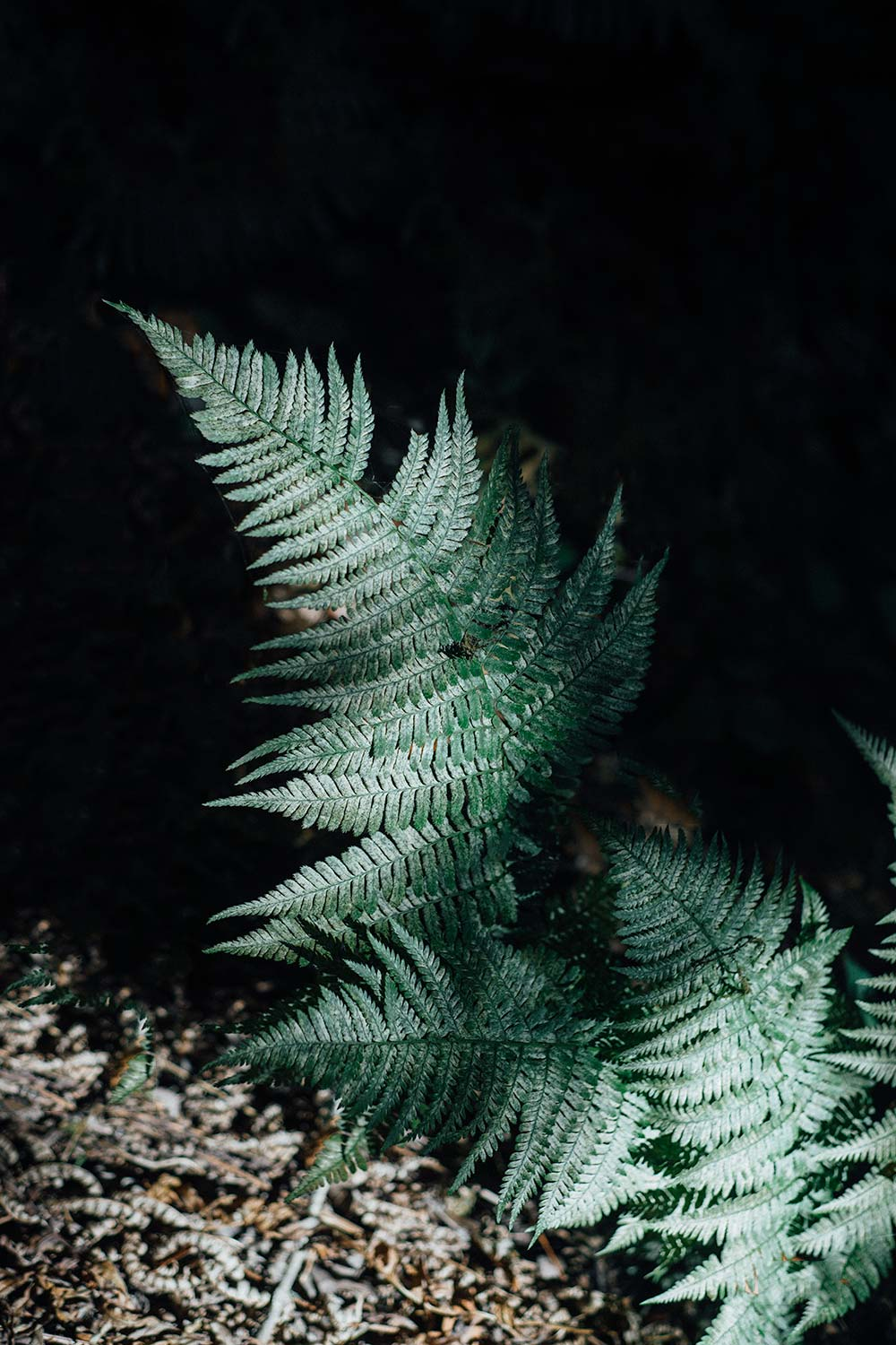 Fern on black background