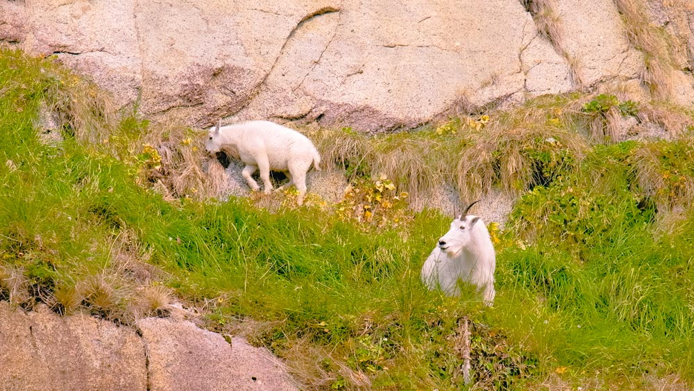 Mountain goats hiding from bears
