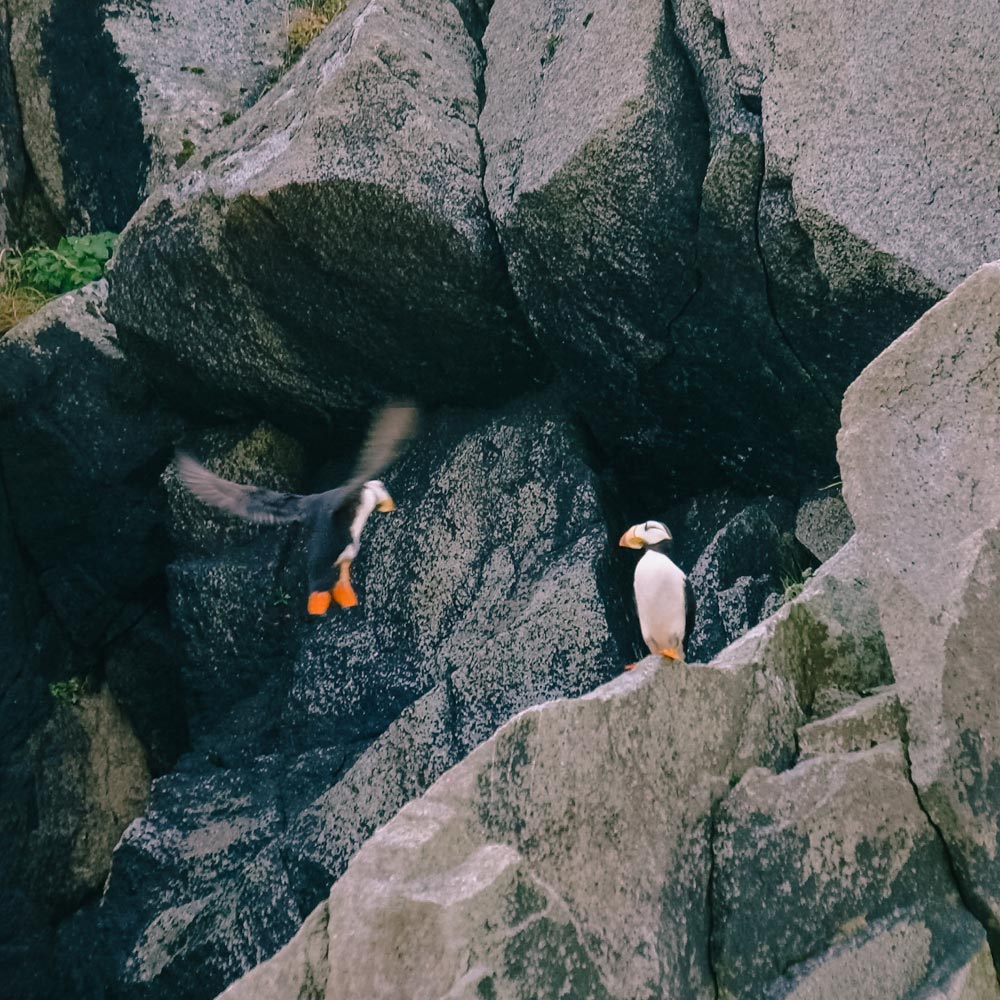 Puffins hanging out